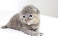 Het oude grijze katje van twee weken Stock Afbeeldingen