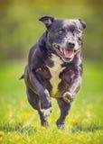 Het oude hond lopen Royalty-vrije Stock Foto's