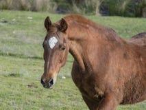 Het oude Hoofdportret van Saddlebred met Overspannen Nack stock afbeeldingen