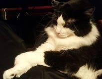 Het oude kat ontspannen Stock Foto's