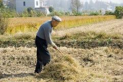 Het oude landbouwer het oogsten tarwestro Stock Foto