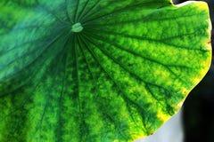 Het oude lotusbloemblad stock foto