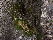 Het oude mos op de boomstam van een boom Stock Afbeeldingen
