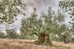 Het oude olijfboom groeien in Umbrië, Italië Stock Afbeelding