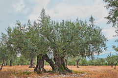 Het oude olijfboom groeien in Umbrië, Italië Stock Foto