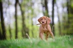 Het oude puppy van tien weken van vizslahond in het meest forrest in de lentetijd Royalty-vrije Stock Afbeelding