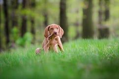 Het oude puppy van tien weken van vizslahond in het meest forrest in de lentetijd Royalty-vrije Stock Foto