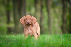 Het oude puppy van tien weken van vizslahond in het meest forrest in de lentetijd Royalty-vrije Stock Afbeeldingen