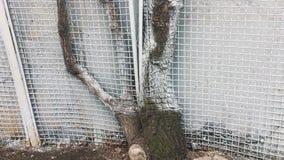 Het oude zieke boom groeien door de omheining stock video