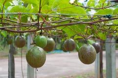 Het overgaan van fruitboom Stock Afbeelding