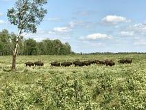 Het overgaan van Kudde van Wilde Buffels in het Nationale Park van het Elandeneiland, Alberta, Canada royalty-vrije stock afbeelding