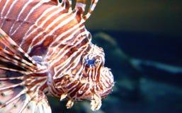 Het overgaan van Lion Fish royalty-vrije stock foto's