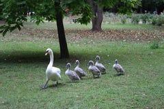 Het overgaan van zwaan met kuikens in het park Stock Fotografie