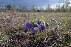 Het overgegaane onweer De lenteweide met blauw bloemen geschoten gewone lat Vulgaris Pulsatilla Royalty-vrije Stock Foto