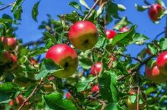 Het overlopen van spiraalvormige rood-groene appelen op de takken van jong t royalty-vrije stock afbeeldingen