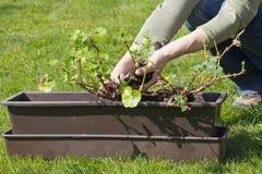 Het overplanten van geraniums in een pot. Stock Afbeelding
