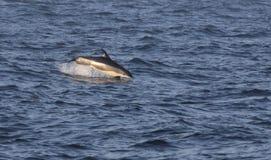 Het overtreden Atlantische wit-Opgeruimde Dolfijn Royalty-vrije Stock Afbeeldingen