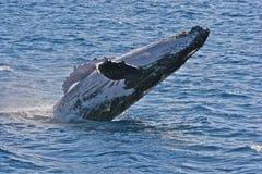 Het overtreden van de walvis Stock Foto