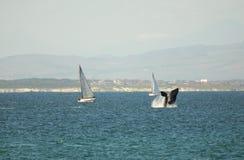 Het overtreden van de walvis Stock Fotografie