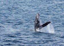 Het overtreden Walvis Stock Afbeeldingen