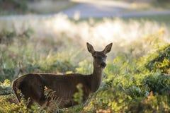 Het overweldigen achterste cervuselaphus van damhinde rode herten in gevlekt zonlicht FO Stock Afbeeldingen