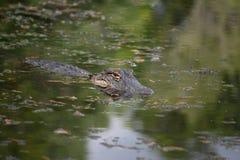 Het overweldigen Gator met een Weerspiegeling van Zijn Gezicht in het Water royalty-vrije stock afbeelding