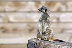 Het overweldigen meerkat Royalty-vrije Stock Afbeeldingen
