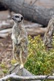 Het overweldigen meerkat Stock Afbeeldingen