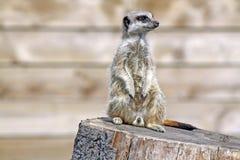 Het overweldigen meerkat Royalty-vrije Stock Foto's