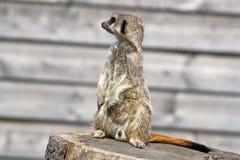 Het overweldigen meerkat Royalty-vrije Stock Afbeelding