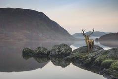 Het overweldigen van krachtig rood hertenmannetje kijkt uit over meer naar mo Stock Foto's