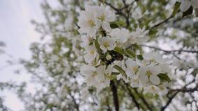 Het overweldigen van mooie bloeiende tak van een Apple-boom mooie kleur Apple-bomen in bloei Sluit omhoog Prachtig licht stock footage