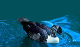 Het overweldigen van Purper Duck Swimming op Koele Blauwe Wateren stock foto's