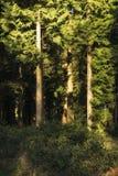 Het overweldigen van vroeg ochtend boslandschap in de Lente met zonlicht Stock Foto