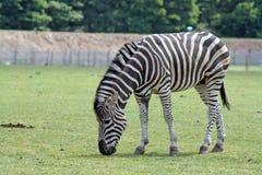 Het overweldigen van zebra op gebied Royalty-vrije Stock Foto's