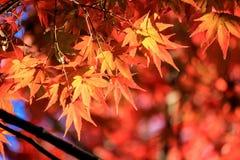 Het overweldigende rood doorbladert in Japan Royalty-vrije Stock Foto