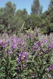 Het overwoekerde wilde weide bloeien Sally Royalty-vrije Stock Afbeelding