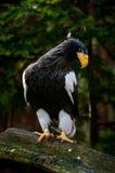 Het Overzees Eagle van Steller (Haliaeetus-pelagicus) Royalty-vrije Stock Fotografie