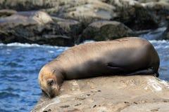 Het Overzees Lion Resting van Californië op een Rots royalty-vrije stock foto