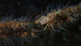 Het overzees ranselt garnalen op overzees ranselt in Filippijnse Anilao, royalty-vrije stock fotografie
