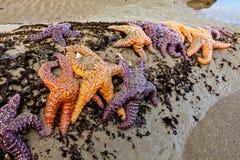 Het overzees speelt pisaster ochraceus mee op een Washingt at low tide wordt gegroepeerd die royalty-vrije stock afbeelding
