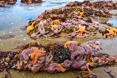 Het overzees speelt pisaster ochraceus mee op een Washingt at low tide wordt gegroepeerd die royalty-vrije stock foto