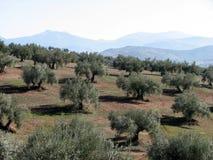 Het overzees van olijven in Andalucia 3 Stock Foto