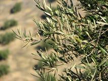 Het overzees van olijven in Andalucia 3 Stock Afbeeldingen