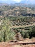 Het overzees van olijven in Andalucia 7 Royalty-vrije Stock Afbeelding