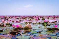 Het overzees van rode lotusbloem stock foto's