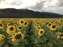 Het overzees van zonnebloemen Royalty-vrije Stock Foto's