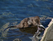 Het overzeese Eten van de Otter royalty-vrije stock afbeeldingen