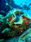 Het overzeese leven - reuzezeeschelp Stock Foto