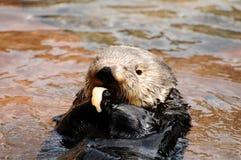 Het overzeese otter voeden Stock Foto's